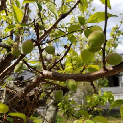 庭先の梅の実