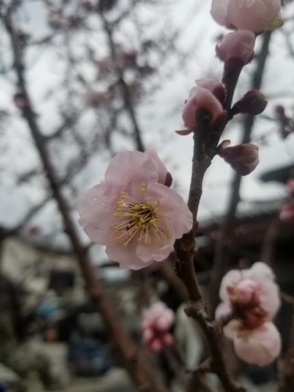 桃の花開花しました(^^♪
