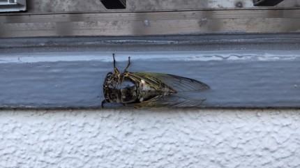 地上に出てきた蝉