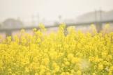 遠賀川河川敷菜の花